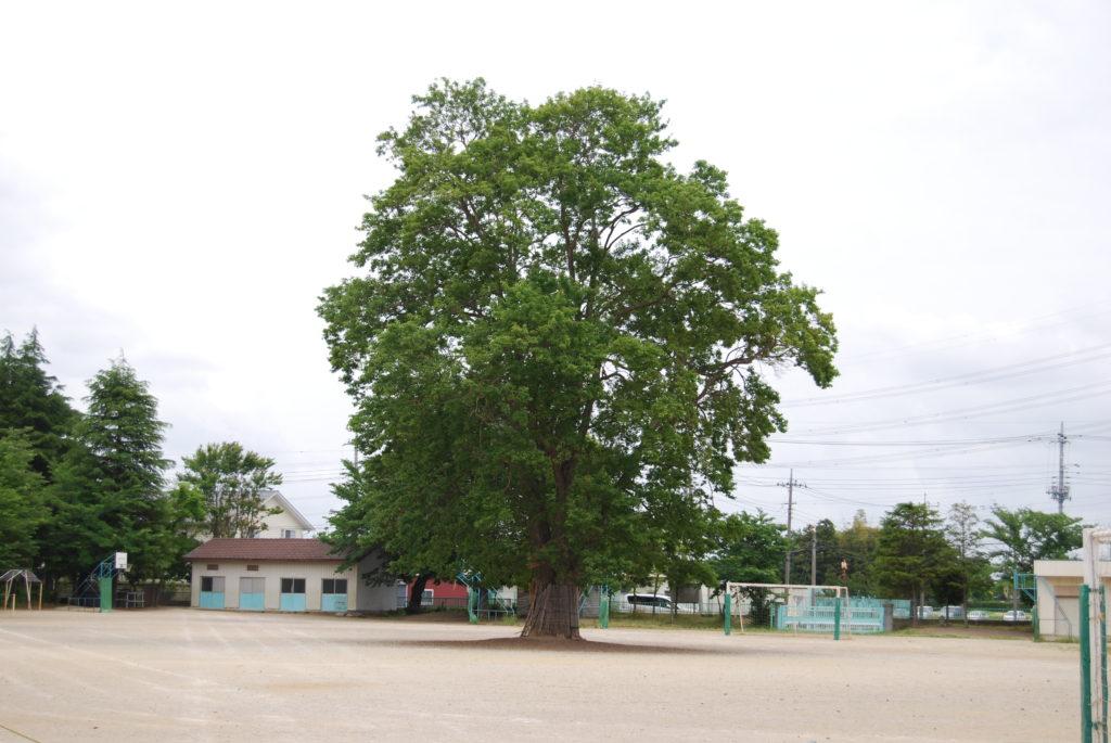 かえでの樹