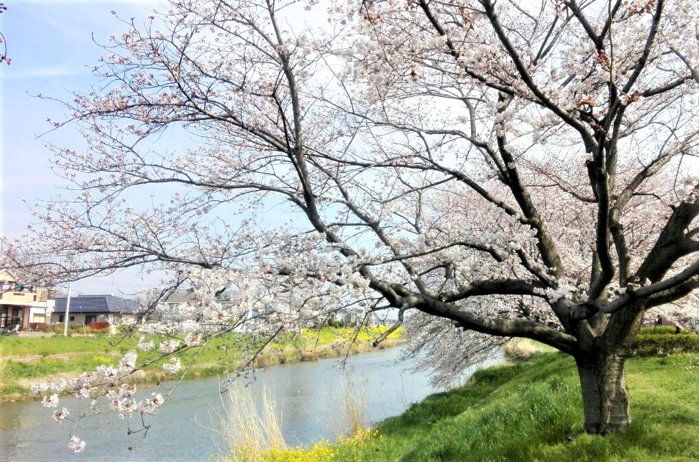 宮代町 土手に沿って続く桜並木
