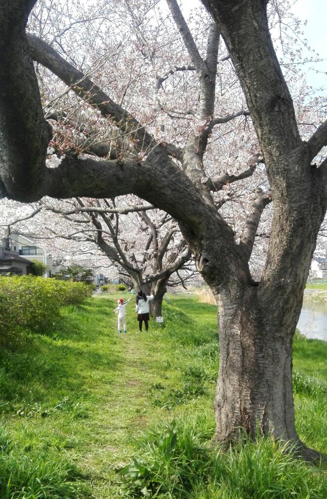 満開の桜の下で遊ぶ子ども