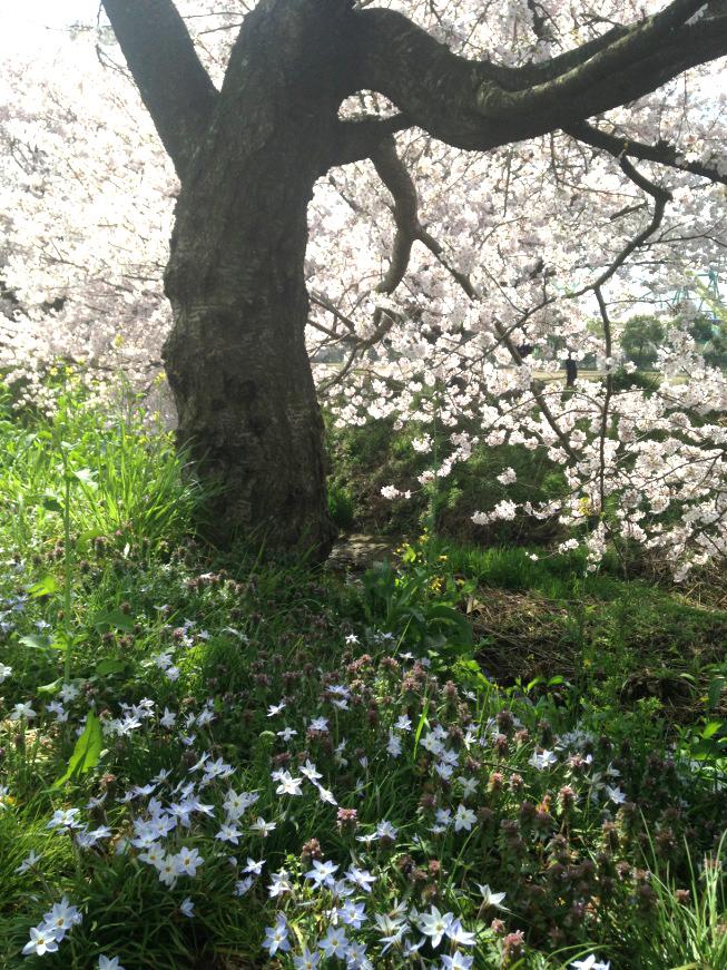 宮代町の桜